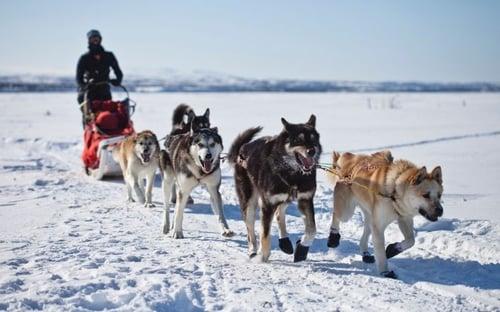 dog_sledding_in_greenland