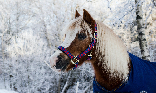 finnish_horse