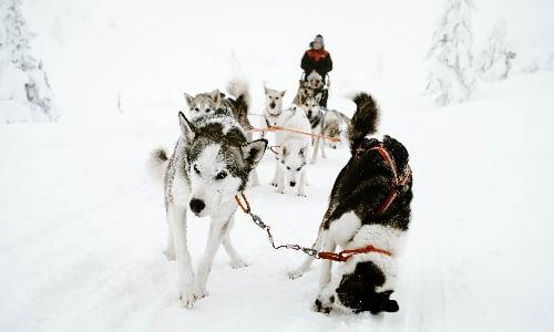 huskies_run_in_iceland