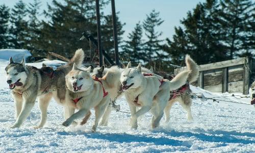 huskies_running_in_winter