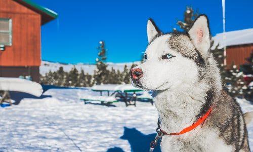 handsome_husky_in_the_cold