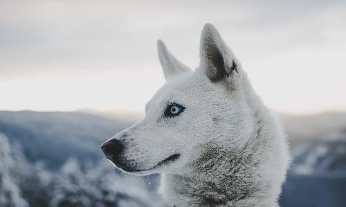 white_husky_in_norway