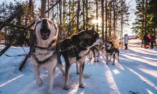 husky_yawns_to_run
