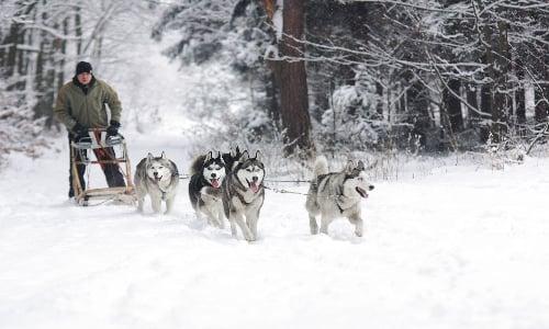musher_and_husky_sledding