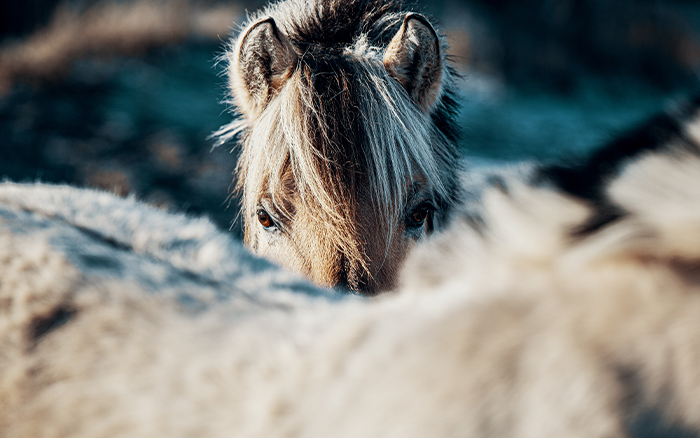 typical_nordic_horse