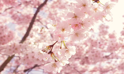 blossoming_norway_spring