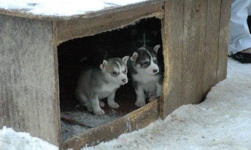 husky_puppies_training_early