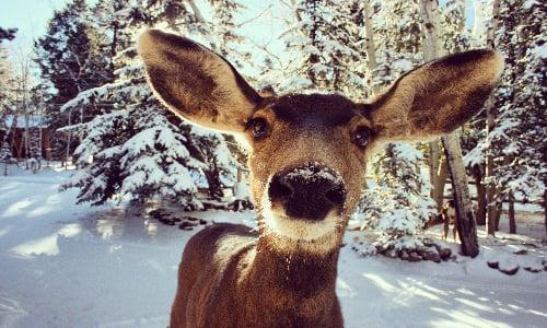 reindeer_snow