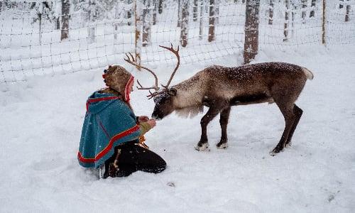 sami_reindeer