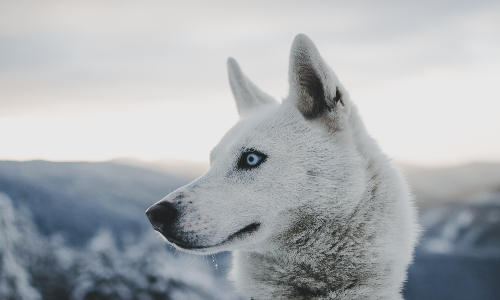 Fun Facts About Dog Sledding